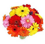 15 Gerberas Bunch